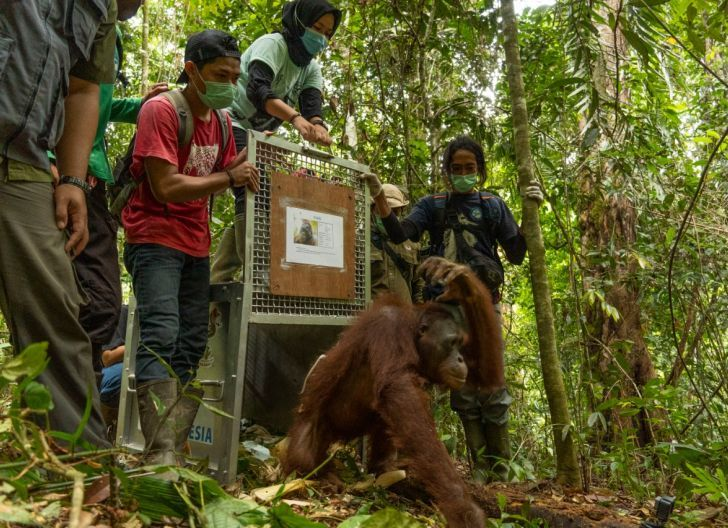 Photo of Lepas Lima Orangutan di Hari Pekan Peduli Orangutan