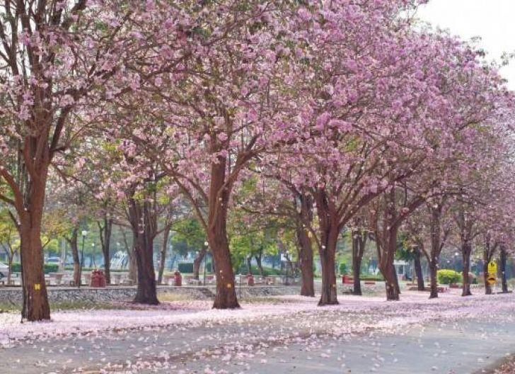 Photo of Pemkot Pontianak Percantik Trotoar Jalan Protokol Jenderal Ahmad Yani dengan Tanam Pohon Berbunga