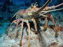 Diburu Seluruh Dunia, Harga Lobster Indonesia Terus Melambung