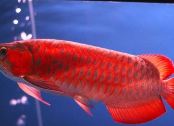 Photo of Arwana Masuk Jenis Ikan Bersirip yang Dilindungi, Ditetapkan KKP 4 Januari 2021