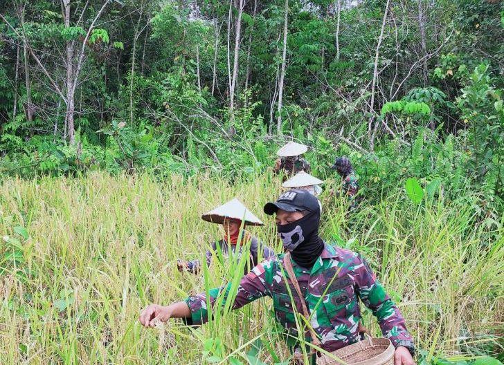 Photo of Satgas Pamtas Yonif 642/Kps Bantu Panen Padi Warga Sei Daun
