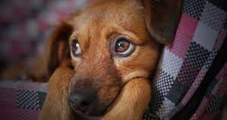 Anjing Pesek Kuasai Seni Tatap Mata Manusia: Terlatih Ribuan Tahun