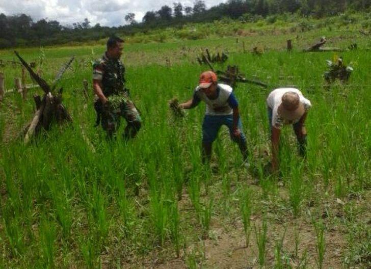 Photo of Pengabdian Untuk Rakyat, Babinsa Bantu Warga Binaan Bersihkan Rumput Tanaman Padi